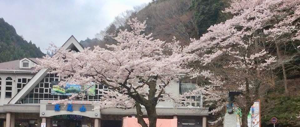 高尾山 桜 混雑